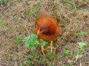 Foto der Woche #021: Endlich wieder Hühner!