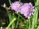 Foto der Woche #051: Und diese (Biene) Hummel, die ich meine...