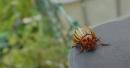Foto der Woche #058: Gestatten, der Kartoffelkäfer!