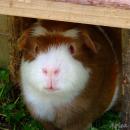 Eric, das Merschweinchen