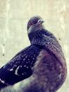 Nasty Dove
