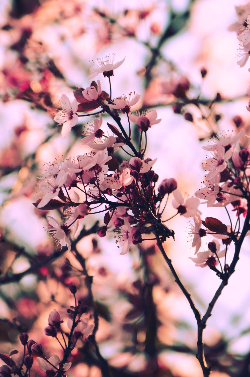 Foto: Sakura