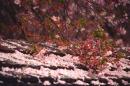 Kirschblütenschnee