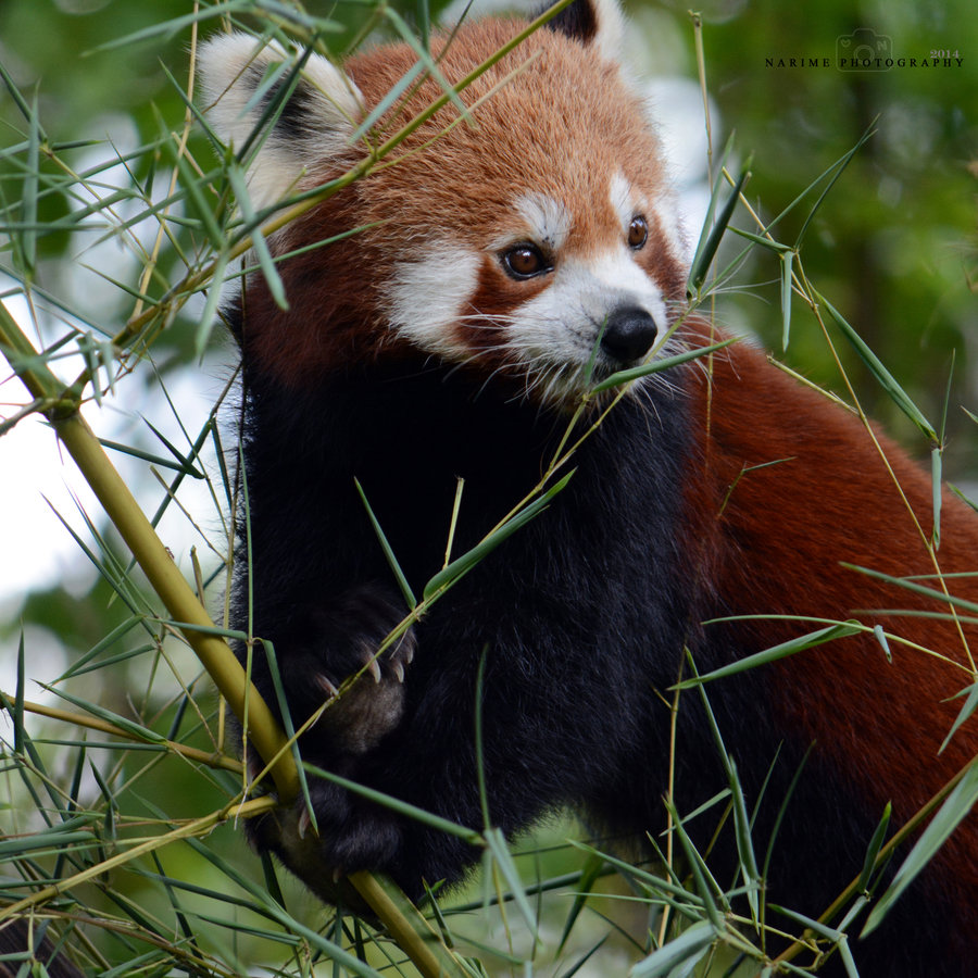 Foto: Roter Panda