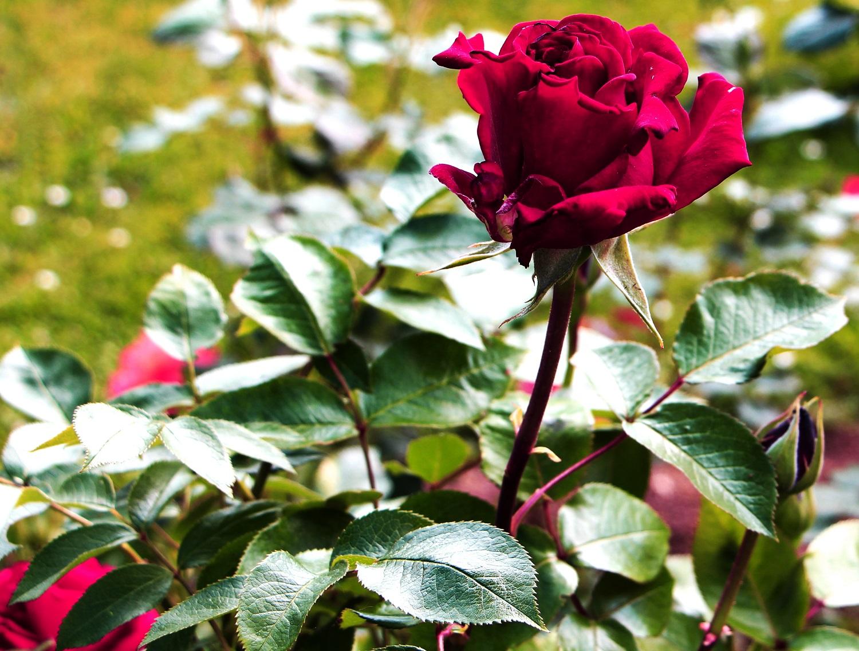 Foto: Rose, Rose, Rose <3