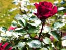 Rose, Rose, Rose <3