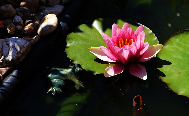 Foto: Froschrose mit See <3