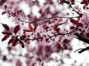Kirschblütiis