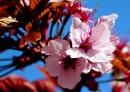 Noch mehr Kirschblütiis