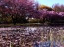 Kirschblüten-Teich