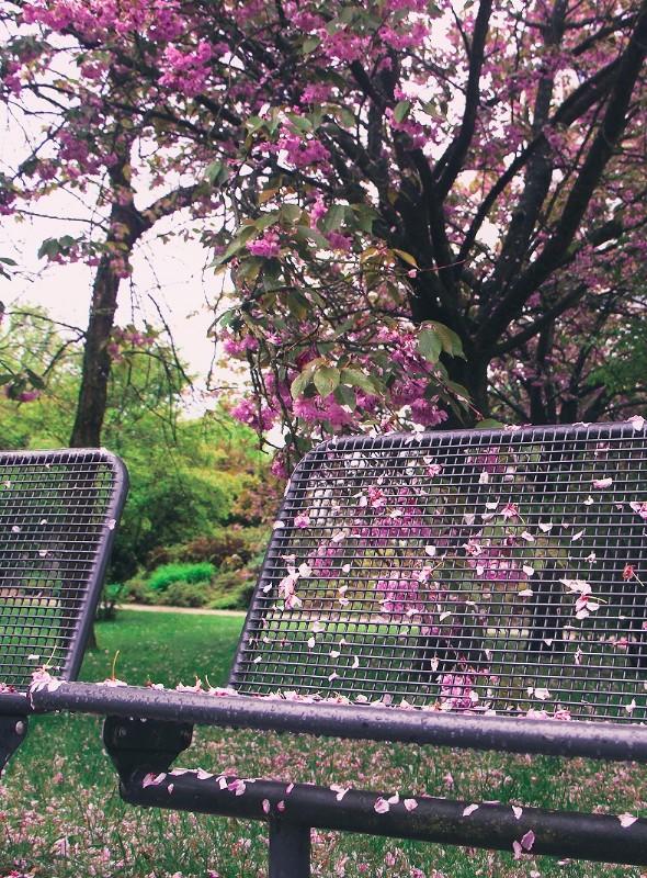 Foto: Kirschblütenpark