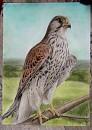 TA Falcon