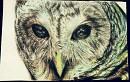 TA the Owl