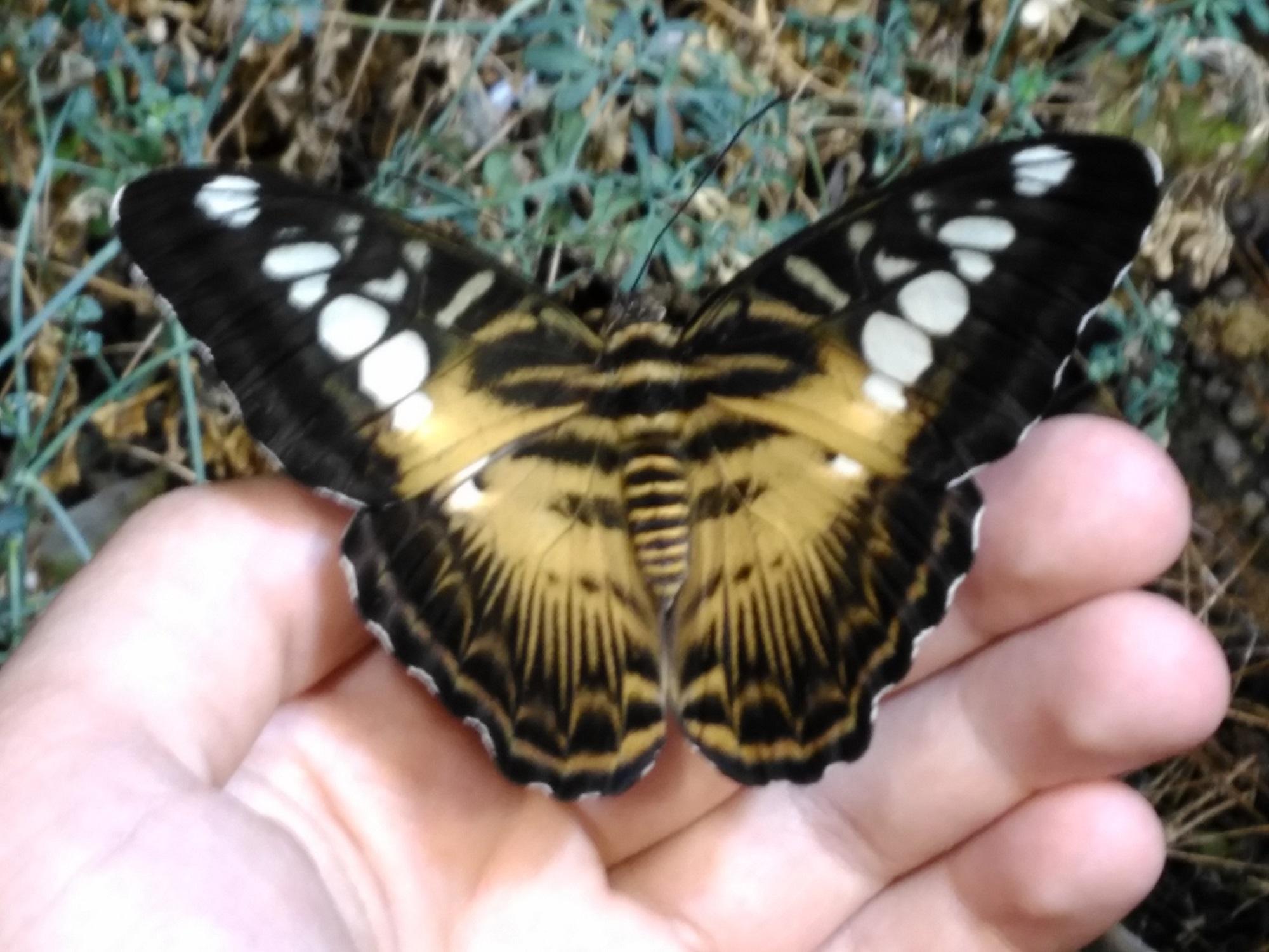 Foto: Weiß jemand, die genaue Bezeichnung dieses Schmetterlings?