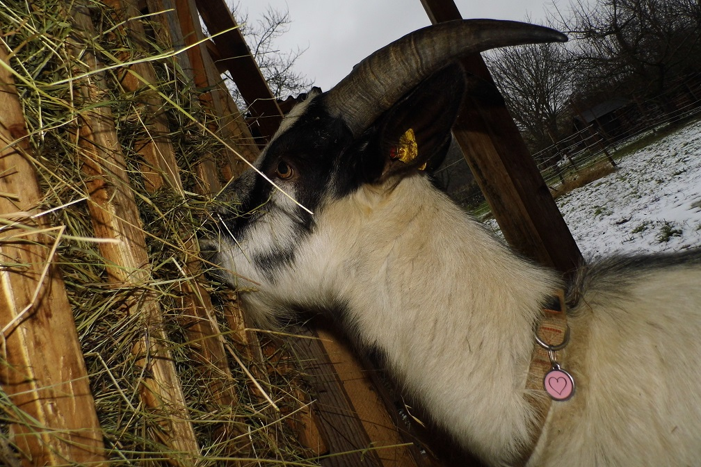 Foto: Ziege - mit ultratrendy Herzchenanhänger :]!