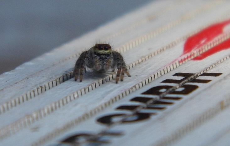 Foto: Hey Dude! (Kleine Springspinne ganz groß)